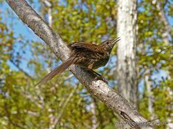 Phil Bendle Collection:Fernbird (Megalurus punctatus)