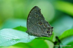 Phil Bendle Collection:Evening Brown butterfly (Melanitis leda)