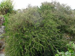 Phil Bendle Collection:Melicytus crassifolius (Thick-leaved Mahoe)