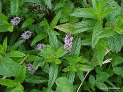 Phil Bendle Collection:Mentha spicata L. subsp. spicata (Mint)