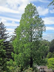 Phil Bendle Collection:Metasequoia glyptostroboides (Dawn Redwood)