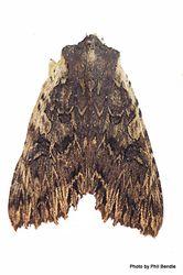 Phil Bendle Collection:Meterana alcyone