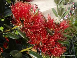 Phil Bendle Collection:Trees (New Zealand Native) Metrosideros hybrids & cultivars with photos