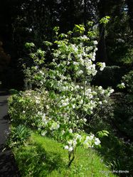 Phil Bendle Collection:Cornus florida subsp. urbiniana (Mexican flowering dogwood)
