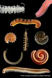 Phil Bendle Collection:Millipedes