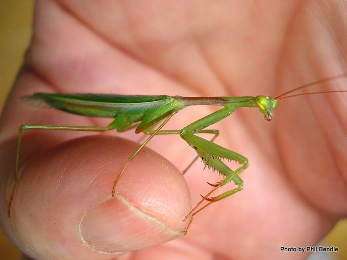 Miomantis caffra.African Praying mantis-7.JPG