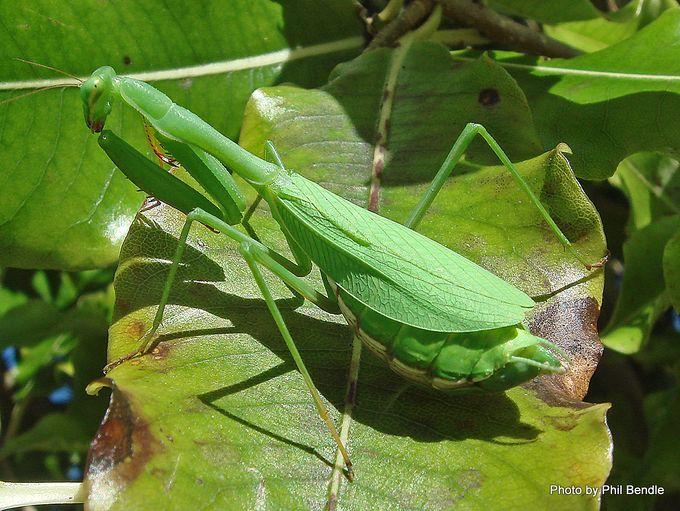 Miomantis caffra African Praying mantis Springbok mantis.-001.JPG