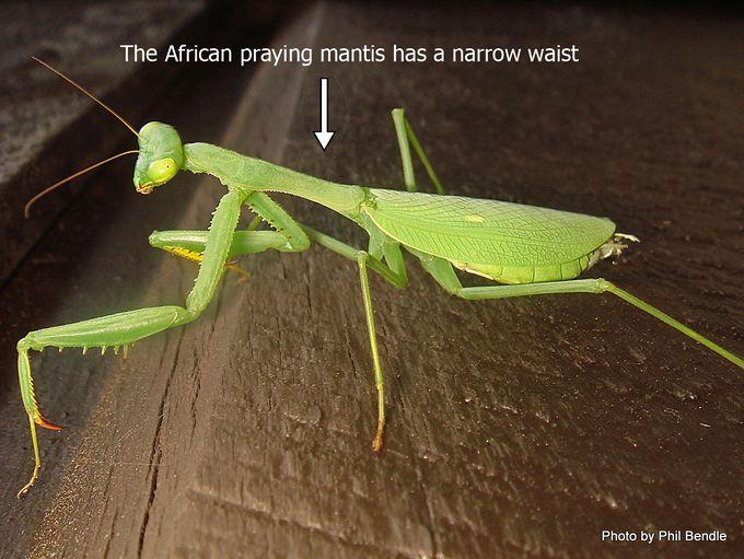 Miomantis caffra African praying mantis-008.jpg