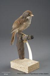 Phil Bendle Collection:Pipipi (Mohoua novaeseelandiae)