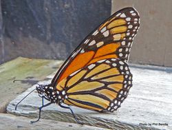 Phil Bendle Collection:Monarch butterfly (Danaus plexippus)