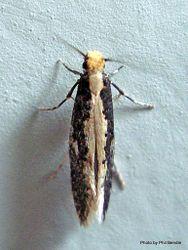 Phil Bendle Collection:Monopis ethelella (Black monopis moth)