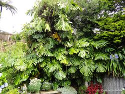 Phil Bendle Collection:Monstera deliciosa (Fruit Salad Plant)