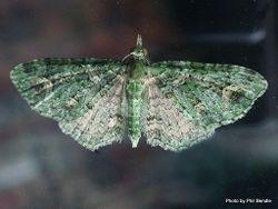 Phil Bendle Collection:Pasiphila (Genus)