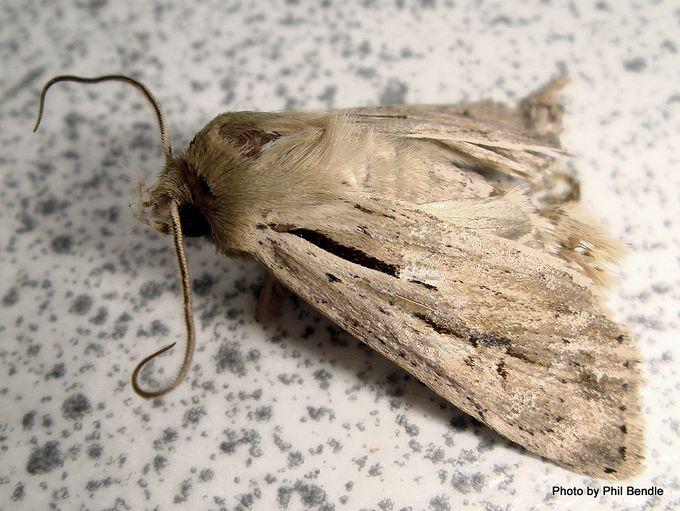 Moth of the Genus Agrotis-001.JPG