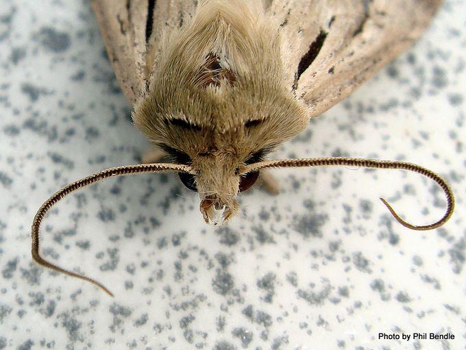 Moth of the Genus Agrotis-002.JPG