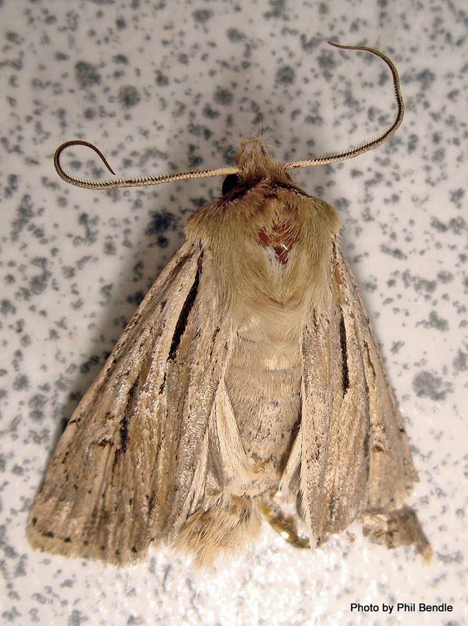 Moth of the Genus Agrotis.JPG