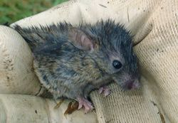 Phil Bendle Collection:Mouse (Mus musculus)