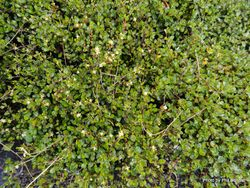 Phil Bendle Collection:Muehlenbeckia axillaris (Creeping muehlenbeckia)
