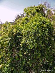 Phil Bendle Collection:Muehlenbeckia australis (Pohuehue)