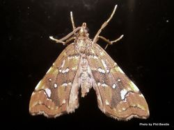 Phil Bendle Collection:Musotima nitidalis