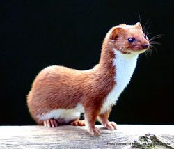Phil Bendle Collection:Weasel (Mustela nivalis vulgari)