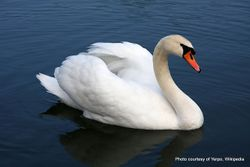 Phil Bendle Collection:Swan (Mute) Cygnus olor