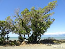 Phil Bendle Collection:Myoporum insulare (Australian ngaio)