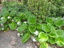 Phil Bendle Collection:Myosotidium hortensia Alba (White Chatham Islands forget-me-not)