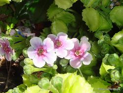 Phil Bendle Collection:Myosotidium hortensia Rosea (Pink Chatham Islands forget-me-not)
