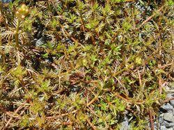 Phil Bendle Collection:Myriophyllum propinquum (Water milford)
