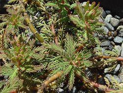 Phil Bendle Collection:Myriophyllum robustum (Stout water milfoil)