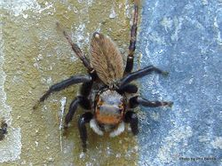 Phil Bendle Collection:Jumping spider (Trite parvula) House hopper