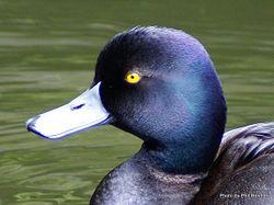 Phil Bendle Collection:Duck (New Zealand Scaup) Aythya novaeseelandiae