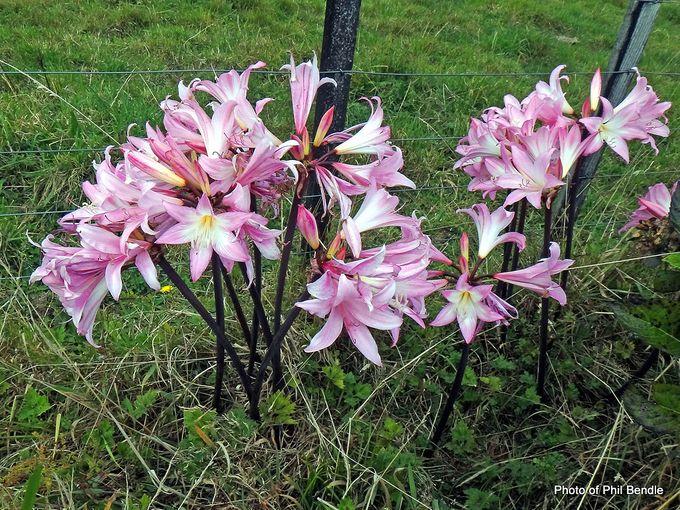 Naked Lady Amaryllis belladonna -001.JPG