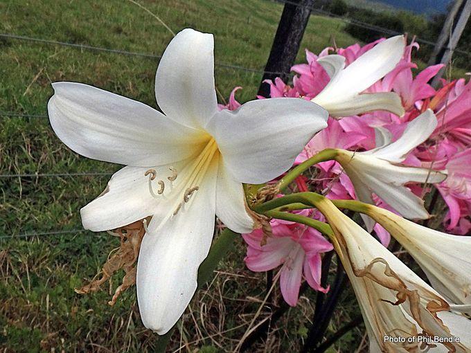 Naked Lady Amaryllis belladonna -003.JPG