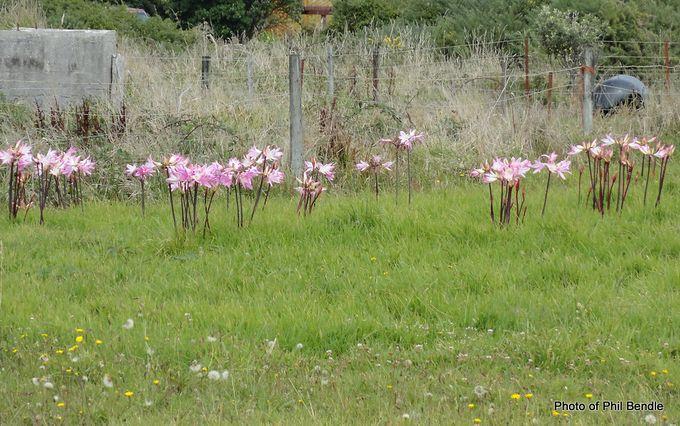 Naked Lady Amaryllis belladonna .JPG