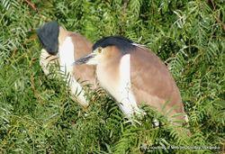 Phil Bendle Collection:Heron (Nankeen night heron) Nycticorax caledonicus