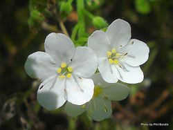 Phil Bendle Collection:Myosotis petiolata var pansa (Native Forget Me Not)