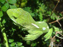 Phil Bendle Collection:Gecko (Naultinus elegans punctatus) Wellington green gecko