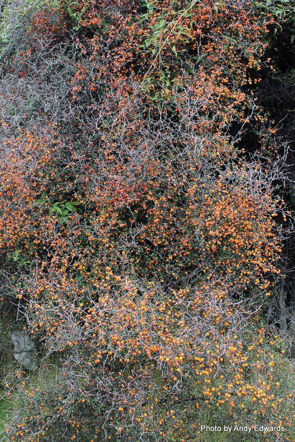 Neomyrtus pedunculata Rohutu.JPG