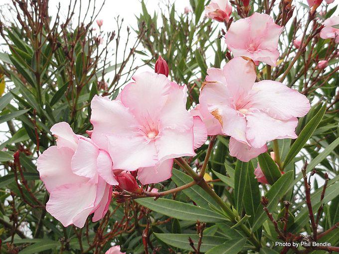 Nerium oleander Oleander-001.JPG