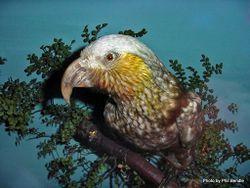 Phil Bendle Collection:Kaka (Nestor meridionalis)