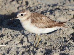 Phil Bendle Collection:Dotterel (New Zealand) Charadrius obscurus