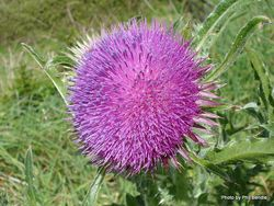Phil Bendle Collection:Carduus nutans (Nodding Thistle)