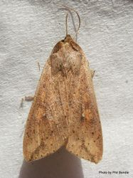 Phil Bendle Collection:Mythimna separate (Northern armyworm moth)