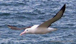 Phil Bendle Collection:Albatross (Northern royal albatross) Diomedea sanfordi