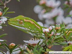 Phil Bendle Collection:Gecko (Northland green) Naultinus grayii