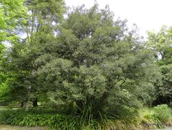 Phil Bendle Collection:Lophozonia cunninghamii (Myrtle beech)