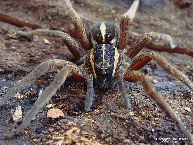 Nursery spider Dolomedes minor -001.JPG