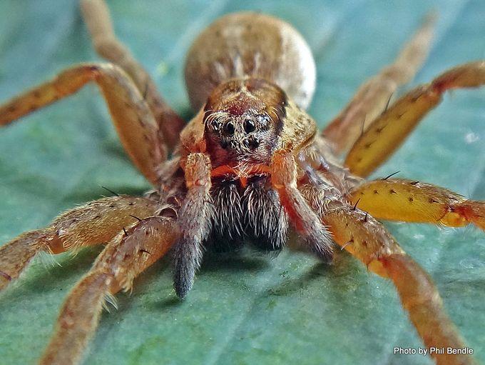 Nursery spider Dolomedes minor -002.JPG